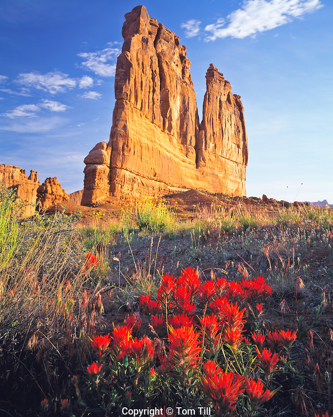 Indian Paintbrush Blooms at Courthouse Towers, Arches National Park, Utah