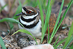 Kildeer on nest