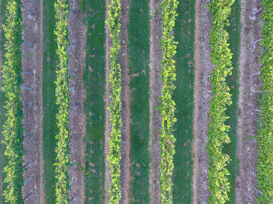 A vineyard located in Albemarle County, Va. Photo/Andrew Shurtleff