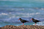 African black oystercatchers, Haematopus moquini, De Hoop nature reserve, Western Cape, South Africa