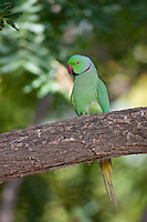 Indian Rose-Ringed Parakeet, Psittacula krameri, on tree branch in village of Nimaj, Rajasthan, Northern India