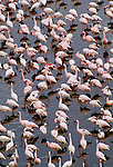 Lesser flamingos, Lake Magadi, Kenya