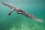Gardens of the Queen, Cuba; an American Crocodile (Crocodylus acutus) swimming down towards the sandy bottom covered in sea grass