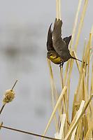 Female Yellow-headed Blackbird taking flight