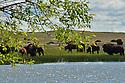 Bison herd at a wetland pond in the Great Plains of Montana at American Prairie Reserve. South of Malta in Phillips County, Montana.