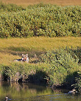Grey Yellowstone Wolf resting after a big meal, Lewis River, Yellowstone National Park