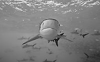 RN0670-Dbw. Silky Sharks (Carcharhinus falciformis), dozens gathered together to feed on small fish in baitball. Baja, Mexico, Pacific Ocean. Color photo converted to black and white.<br /> Photo Copyright &copy; Brandon Cole. All rights reserved worldwide.  www.brandoncole.com