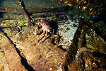 Channel Clinging Crab, Oro Verde, Shipwreck, Grand Cayman