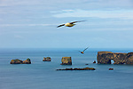 """Two fulmars fly between the southern coast of Iceland and the Dyrhólaey peninsula. The peninsula features several sea arches, resulting its name, which means """"the island with the hill door."""" During the early summer, thousands of fulmars (Fulmarus glacialis) nest on rocky cliffs throughout Iceland."""
