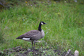 A goose standing beside a small creek
