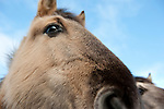 Konik Horse, Kent UK, close up portrait, direct descendants of the Tarpan, a wild horse which was hunted to extinction, Koniks is Polish word for wild horse, winter coat, pony, introduced into wetland areas to help graze and keep reedbeds managed for conservation, face eyes