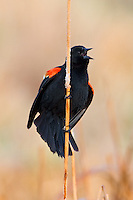 Red-winged Blackbird displaying on the top of a reed
