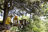 Switzerland. Canton Ticino. Castello di Vico Morcote. Alberto Bianchi ( dressed in white) is a beekeeper and an organic farmer (with the label Bio Suisse). He stands in the woods (Robinia pseudoacacia) with his assistant holding a bee smoker. Both men are checking the honeycombs in the hives, the health of the bees and the quantity of honey. Beekeeping (or apiculture) is the maintenance of honey bee colonies, commonly in hives, by humans. A beekeeper (or apiarist) keeps bees in order to collect honey and other products of the hive (including beeswax, propolis, pollen, and royal jelly). Robinia pseudoacacia, commonly known as the Black Locust, is a tree in the subfamily Faboideae of the pea family Fabaceae. A less frequently used common name is False Acacia, which is a literal translation of the specific epithet. 30.05.12 © 2012 Didier Ruef