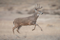Wyoming whitetail buck running during the autumn rut