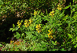 Golden Banner, Golden Pea, False Lupine, Thermopsis montana, Camp May Trail, Pajarito Mountain, Los Alamos, New Mexico