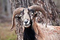 Corsican Ram