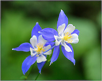 The state wildflower of Colorado is the columbine. These beautiful flowers grow at higher elevations and are found many times along rocky slopes or near Aspen trees.