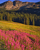 Summer Fireweed Blooms, Albion Basin, Wasatch/Cache National Forest, Utah