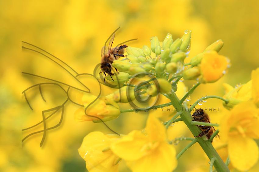 Au petit matin, les abeilles viennent chercher la rosée sur les fleurs de colza. Une colonie à besoin de cinq litres d'eau par jour pour sa survie.///In the early morning, the bees come to get the dew off the rape flowers. A colony needs five litres of water per day to survive.