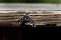 A single Progressive Bee Fly, (Exoprosopa caliptra), rests on wood.
