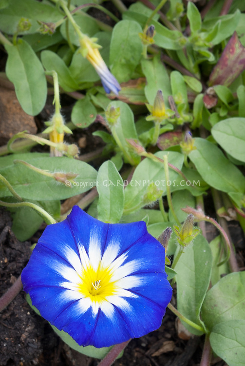 Convolvulus tricolor Blue Ensign, blue flowered hardy annual for the garden