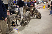 Irish Wolfhound gathering. Kennel Club Dog Show, Championship Purebred AKC, Graham Building, N.C. State Fairgrounds. Sunday, March 25, 2012.