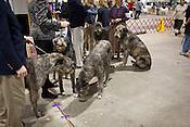 Irish Wolfhound gathering. Kennel Club Dog Show, Championship Purebred AKC, Graham Building, N.C. State Fairgrounds. Sunday, March 25, 2012.