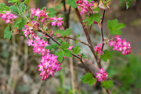 Grossulariaceae (Currant and Gooseberry Family)