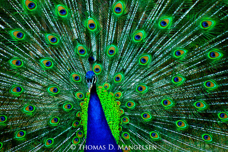 What is intended by Mother Nature to be perceived as a thousand glimmering eyes, iridescent rounds of color adorn the peacock's tail feathers, held open in a fan-like position to woo a hoped-for mate.