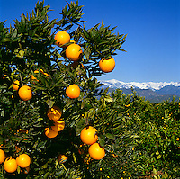 Agriculture - Produce, Navel oranges and snowcapped Sierra Nevada mountains in the distance / near Exeter, San Joaquin Valley, California, USA