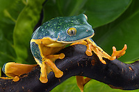 Splendid Leaf Tree Frog (Cruziohyla calcarifer)