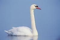 Mute Swan, Cygnus olor, adult in fog, Unterlunkhofen, Switzerland, Europe