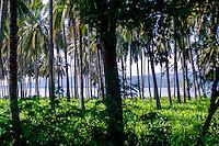 Java, Banyuwangi. Palm forest north of Banyuwangi, Bali can be seen among the trees.