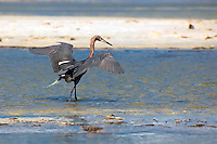 """A beautiful reddish egret drawing small fish to the """"safety"""" of the shadow it creates by spreading its wings to get a meal."""