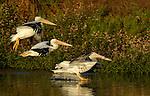 White Pelicans, Sunset Landing, American White Pelican, Sepulveda Wildlife Refuge, Southern California