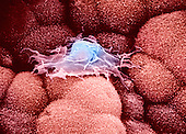 Moving macrophage on the epithelial surface of the choroid plexus in the brain. The macrophage possess a ruffled cell border exhibiting thin cytoplasmic extensions that spread over the microvilli of the choroid epithelial cells. SEM **On Page Credit Required**