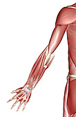 A posterior view of the muscles of the left upper limb. Royalty Free