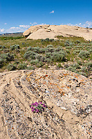 Sandstone outcrop and wildflowers in Oregon Basin of Wyoming