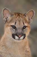 656320001 a captive wildlife rescue mountain lion cub wichita felis concolor at the wildlife waystation wildlife recovery and care facility in southern california
