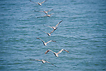 La Jolla Cove, San Diego, California; eight Brown Pelican (Pelecanus occidentalis) birds flying in single file formation over the Pacific Ocean