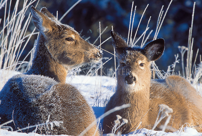 Two whitetail does bedded in snow on a frosty morning in Montana
