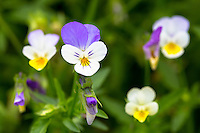 Purple and yellow Viola, Violaceae, edible flowers for salads in vegetable garden in Oxfordshire, UK