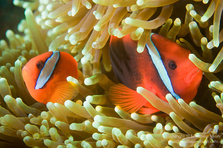 Tomato clownfish anemone - photo#3