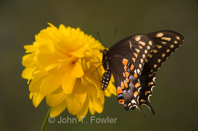 Black swallowtail butterfly,  Papilio polyxenes asterias