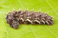 Red Admiral Butterfly (Vanessa atalanta) caterpillar (larva), Ward Pound Ridge Reservation, Cross River, Westchester County, New York