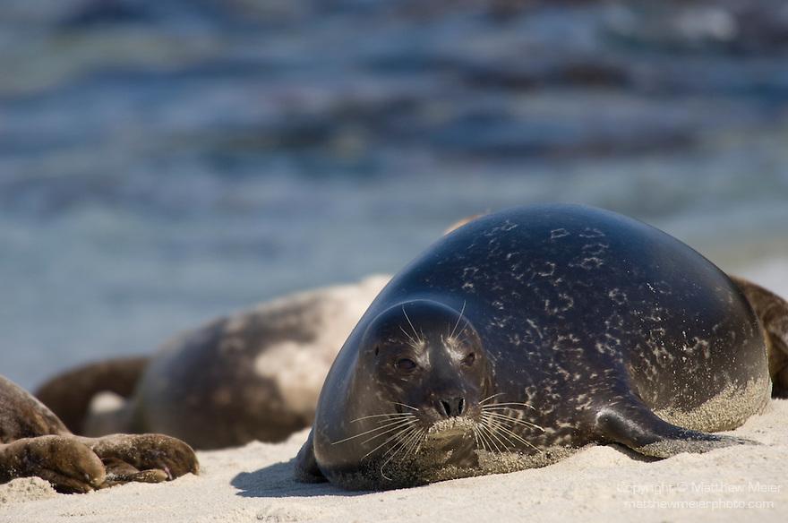 Children's Pool, La Jolla, California; Harbor Seal(s) (Phoca vitulina)