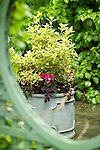 Bright pink clematis, dark red heuchera and variegated foliage provide great visual contrast in this large ceramic container.