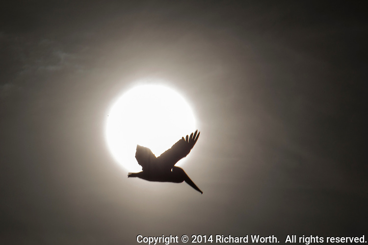 A brown pelican in flight, wings spread, caught in silhouette against the afternoon sun at San Leandro's Marina Park on San Francisco Bay.