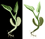 X-ray image of a sprouting bean (color) by Jim Wehtje, specialist in x-ray art and design images.