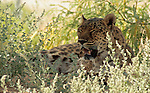 A Leopard in the grass.
